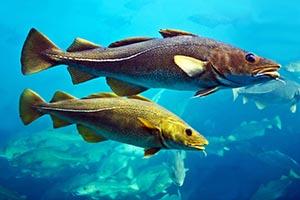 Fisk_torsk_shutterstock_166168523